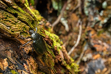 Hermit beetle (Osmoderma eremita) male in decaying wood in old-growth Beech (Fagus sylvatica) forest. Endangered species. UNESCO World Heritage Site. Abruzzo, Lazio and Molise National Park, Italy. Au...