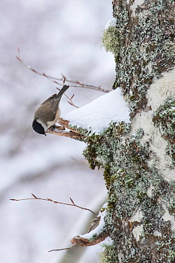Marsh tit (Parus palustris) searching for food on centuries-old Beech (Fagus sylvatica) tree bark in Coppo del Principe old-growth beech forest during a winter snowfall. Abruzzo, Lazio and Molise Nati...