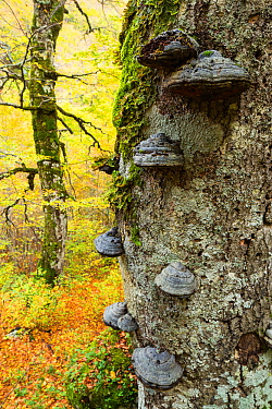 Autumn colours and ancient Beech (Fagus sylvatica) tree with Tinder fungus (Fomes sp.) growing on its trunk in Coppo del Principe old-growth Beech forest. Abruzzo, Lazio and Molise National Park / Par...