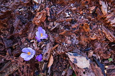 Crocuses (Crocus vernus) emerging from decaying wood in old-growth Beech forest. Abruzzo, Lazio and Molise National Park / Parco Nazionale d'Abruzzo, Lazio e Molise UNESCO World Heritage Site Ital...