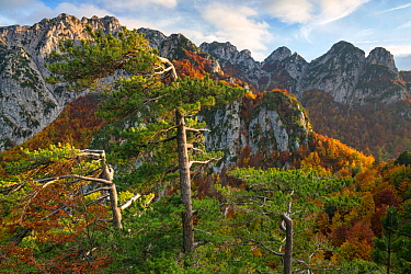 Autumn colors in the Camosciara mountains where Black pine (Pinus nigra) forest meets Cacciagrande old-growth Beech (Fagus sylvatica) forest. Abruzzo, Lazio and Molise National Park / Parco Nazionale...