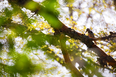 Lilford's white-backed woodpecker (Dendrocopos leucotos lilfordi) female feeding on dead branch of tree in old growth Beech (Fagus sylvatica) forest. Abruzzo, Lazio and Molise National Park / Parc...