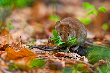 Red vole (Myodes glareolus) collecting leaves from leaf litter in old growth Beech (Fagus sylvatica) forest. Abruzzo, Lazio and Molise National Park / Parco Nazionale d'Abruzzo, Lazio e Molise UNE...