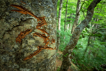 Marsican / Apennine brown bear (Ursus arctos marsicanus) claw marks on Beech (Fagus sylvatica) tree bark in old growth beech forest. Abruzzo, Lazio and Molise National Park / Parco Nazionale d'Abr...
