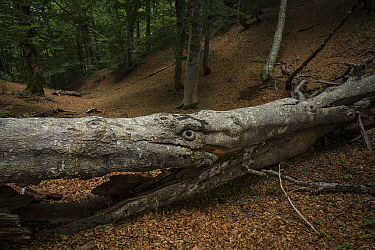 Fallen beech tree (Fagus sylvatica) , which looks like an animals face, in Cacciagrande old-growth beech forest in summer. Abruzzo, Lazio and Molise National Park / Parco Nazionale d'Abruzzo, Lazi...