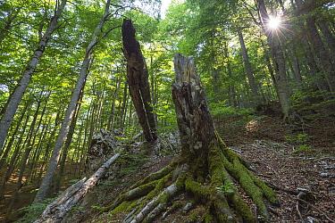 Beech tree (Fagus sylvatica) stump in Cacciagrande old-growth beech forest in summer. Abruzzo, Lazio and Molise National Park / Parco Nazionale d'Abruzzo, Lazio e Molise UNESCO World Heritage Site...