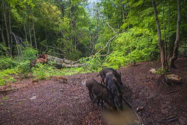 Wild boars (Sus scrofa) drinking at water pool in old-growth Beech (Fagus sylvatica) forest. Abruzzo, Lazio and Molise National Park / Parco Nazionale d'Abruzzo, Lazio e Molise UNESCO World Herita...