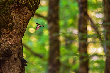 Collared flycatcher (Ficedula albicollis) male flight-displaying in front of centuries-old beech (Fagus sylvatica) tree. Abruzzo, Lazio and Molise National Park / Parco Nazionale d'Abruzzo, Lazio...
