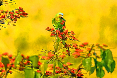 Orange-winged parrot (Amazona amazonica) feeding on flowering Immortelle tree, Tobago