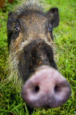 Bearded pig (Sus barbatus) close up of snout, Bako National Park, Sarawak, Borneo