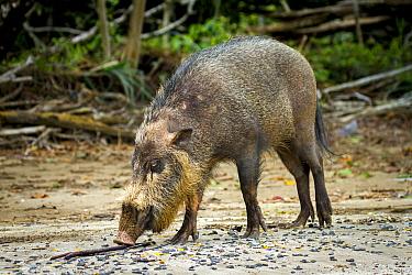 Bearded pig (Sus barbatus) foraging for crabs on beach, Bako National Park, Sarawak, Borneo