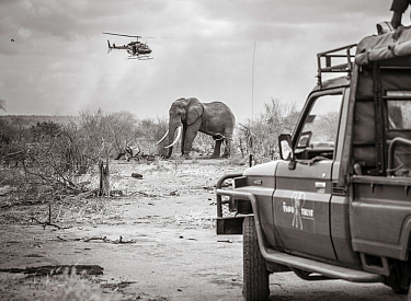 Black and white image of Tsavo Trust vehicle and Kenya Wildlife Service helicopter converge on a African elephant (Loxodonta africana) bull during an operation to place satellite tracking collars on...