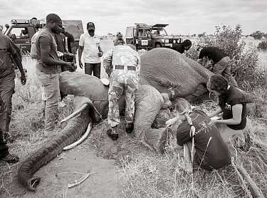 Black and white image of people fitting radio tracking collar onto African elephant (Loxodonta africana) Tsavo Conservation Area, Kenya. Editorial use only.