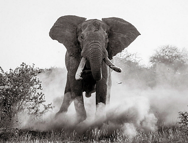 Black and white image of African elephant (Loxodonta africana) bull charging, Tsavo Conservation Area, Kenya. Taken with a remote camera buggy / BeetleCam. Editorial use only.
