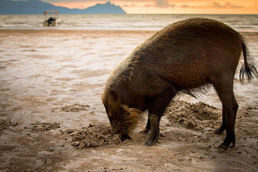 Bearded pig (Sus barbatus) digging in sand, foraging for crabs on beach, Bako National Park, Sarawak, Borneo