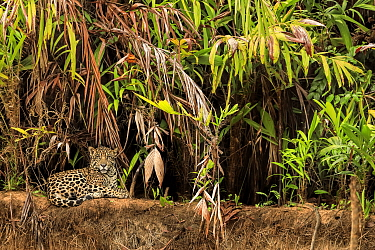 Jaguar (Panthera onca) on riverbank , Pantanal, Brazil