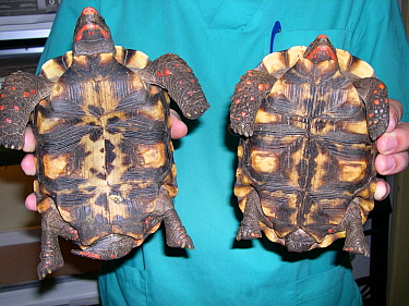 Sexual dimorphism in adult red-footed tortoise (Chelonoidis carbonaria). Left: male (concave plastron, long tail), right: female (flat plastron, short tail) small repro only