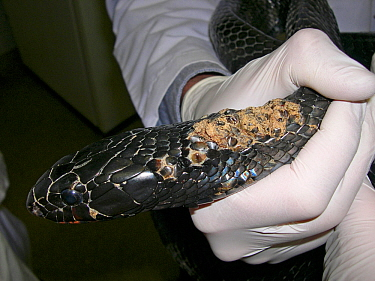 Snake fungal diseases in a wild Eastern indigo snake (Drymarchon couperi). This is an emerging disease in wild snakes of North America. Small repro only