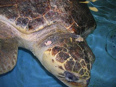 Loggerhead sea turtle (Caretta caretta) under rehabilitation with fibropapillomatosis affecting the neck. This is a common disease in some wild populations of sea turtles. Georgia, United States  sma...