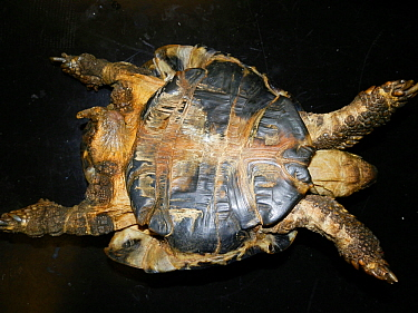 Deformed Hermann's tortoise (Testudo hermanni). This is a common condition in Mediterranean tortoises kept in cold weathers or under inadequate husbandry. Small repro only