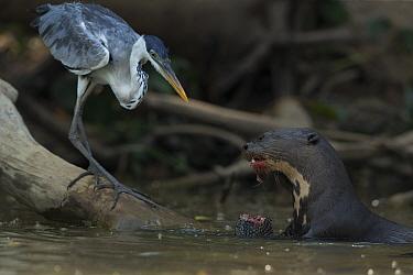 Giant otter (Pteronura brasiliensis) feeding on a catfish (Loricariidae) with Cocoi heron (Ardea cocoi) scavenging remnants, Rio Cuiaba, Pantanal, Brazil.