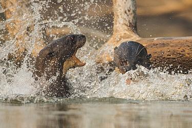 Giant river otters (Pteronura brasiliensis) fighting, Pantanal, Brazil.