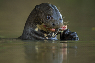 Giant otter (Pteronura brasiliensis) feeding on a Pleco catfish (Loricariidae) Rio Cuiaba, Pantanal, Brazil