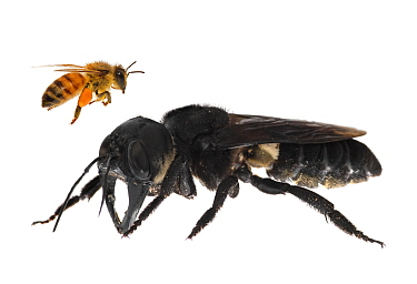 Composite image of Wallace's giant bee (Megachile pluto) with European honey bee (Apis melifera). This is the world's largest bee, which is approximately 4 times larger than a European honey bee. One...