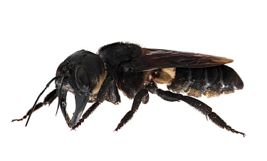 Wallace's giant bee (Megachile pluto) is the world's largest bee, which is approximately 4 times larger than a European honey bee. One of the first images of a living member of this species. Mollucas,...