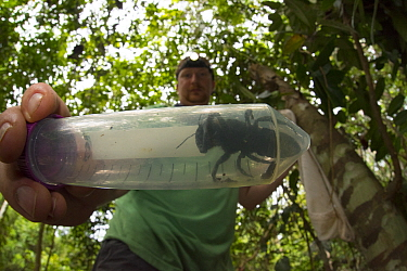 Entomologist and bee expert Eli Wyman with the first rediscovered individual of Wallace's giant bee (Megachile pluto) Mollucas, Indonesia. January 2019