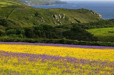 Strips of purple Vipers bugloss( Echium plantagineum) and Corn marigold (Chrysanthemum segetum) with Cornish coast in background background . Bosregan Meadows,St Just Cornwall,England ,UK