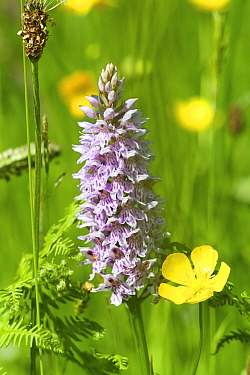 Common spotted orchid (Dactylorhiza fuchsii) and Meadow butttercup (Ranunculus acris) flowers, The Burren, County Clare, Republic of Ireland. June.