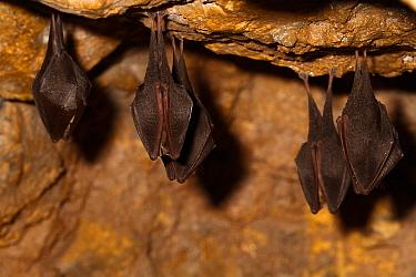 Lesser horseshoe bats ( Rhinolophus hipposideros) in magnesium mine, Shropshire, England, UK, April.