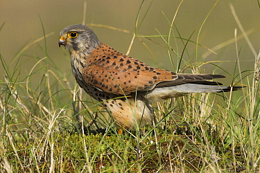 Kestrel (Falco tinnunculus) male in sand dunes having just killed a Ringed plover. Gronant beach, Denbighshire, Wales, UK. Small repro only