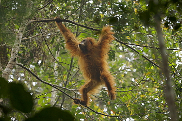 Tapanuli Orangutan (Pongo tapanuliensis) Beti, juvenile female, daughter of Beta, in the trees, Batang Toru Forest, Sumatran Orangutan Conservation Project, North Sumatran Province,  Indonesia