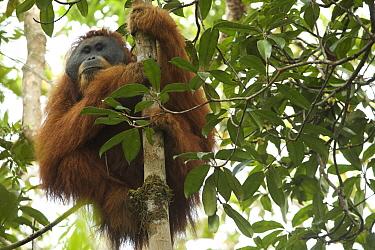 Tapanuli Orangutan (Pongo tapanuliensis).  Togus, adult flanged male  Batang Toru Forest Sumatran Orangutan Conservation Project North Sumatran Province  Indonesia