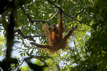Tapanuli Orangutan (Pongo tapanuliensis) Beta, adult female, mother of Beti, climbing, Batang Toru Forest, Sumatran Orangutan Conservation Project North Sumatran Province, Indonesia.