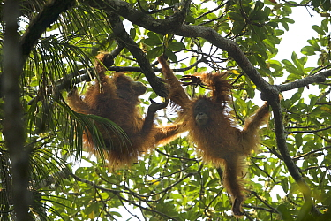 Tapanuli Orangutan (Pongo tapanuliensis) Beti, juvenile female approximate age 6 years, playing with mother, Beta, Batang Toru Forest,Sumatran Orangutan Conservation Project, North Sumatran Province,...
