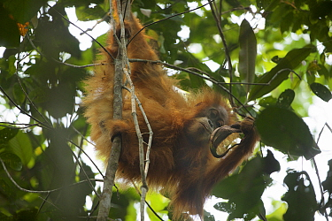 Tapanuli Orangutan (Pongo tapanuliensis) Beti, juvenile female, daughter of Beta, drinking from Pitcher plant. Batang Toru Forest, Sumatran Orangutan Conservation Project North Sumatran Province  In...