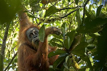 Tapanuli Orangutan (Pongo tapanuliensis) Inda, adult female, Batang Toru Forest, Sumatran Orangutan Conservation Project, North Sumatran Province, Indonesia.