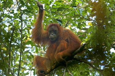 Tapanuli Orangutan (Pongo tapanuliensis) Tiur, an adult female. Batang Toru Forest. Sumatran Orangutan Conservation Project. North Sumatran Province, Indonesia