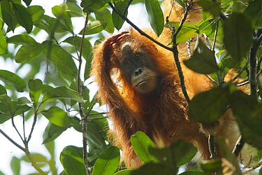 Tapanuli Orangutan (Pongo tapanuliensis) Beti, juvenile female approximate age 6 years, daughter of Beta. Batang Toru Forest, Sumatran Orangutan Conservation Project, North Sumatran Province,  Indone...