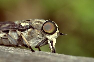 Large marsh horsefly (Tabanus autumnalis) resting on a fence, Dorset, UK, July.