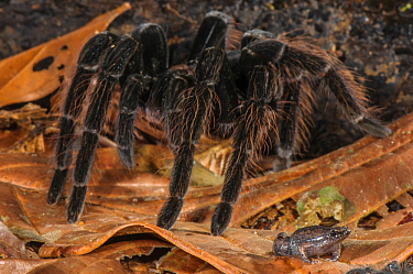 Peruvian Tarantula (Pamphobeteus sp.) and Humming Frog (Chiasmocleis royi) together, Los Amigos Biological Station, Madre de Dios, Amazonia, Peru. These species have a commensal relationship. The tara...