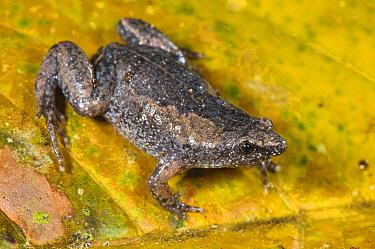 Humming Frog (Chiasmocleis royi), adult female on a leaf, Los Amigos Biological Station, Madre de Dios, Amazonia, Peru. non-ex
