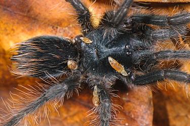Peruvian Tarantula (Pamphobeteus sp.), young individual parasitized by Phoridae fly larvae, Los Amigos Biological Station, Madre de Dios, Amazonia, Peru.