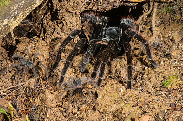 Peruvian Tarantula (Pamphobeteus sp.) adult and young emerging from their communal burrow at night, Los Amigos Biological Station, Madre de Dios, Amazonia, Peru.
