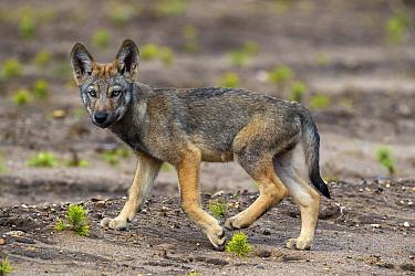 Wolf (Canis lupus), cub, Saxony-Anhalt, Germany, July.