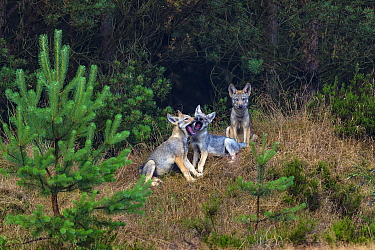 Wolf (Canis lupus), cubs playing at edge of woodland, Saxony-Anhalt, Germany, July.