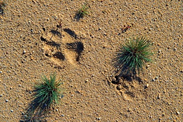 Wolf (Canis lupus) footprints, Saxony, Germany, August.